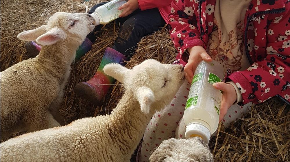 WEB - Mini Meadows Lambs
