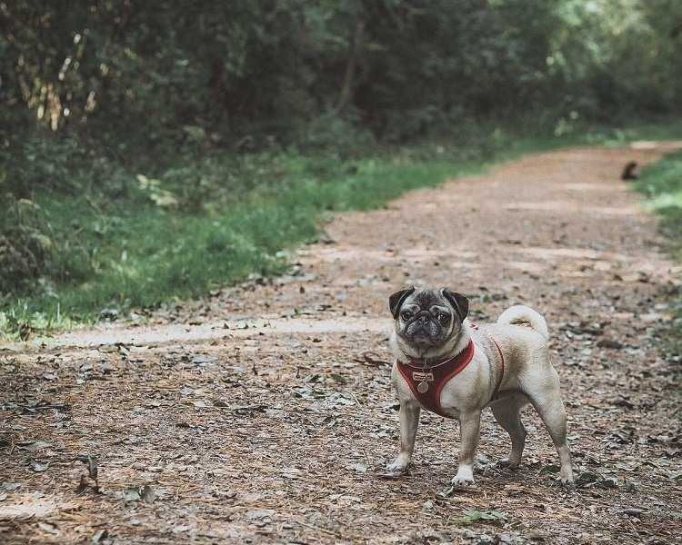 pug salcey forest-369558-edited